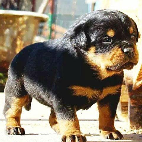 Dogs For Sale In Kerala Calicut