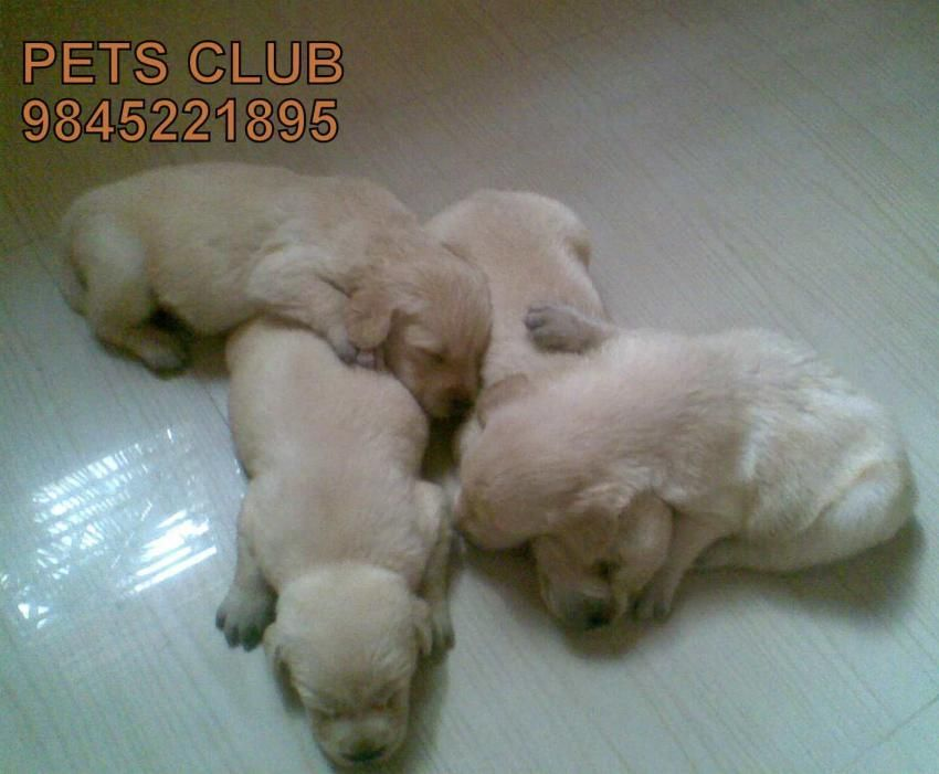 Golden Retriever Puppies For Sale In Best Price Bangalore