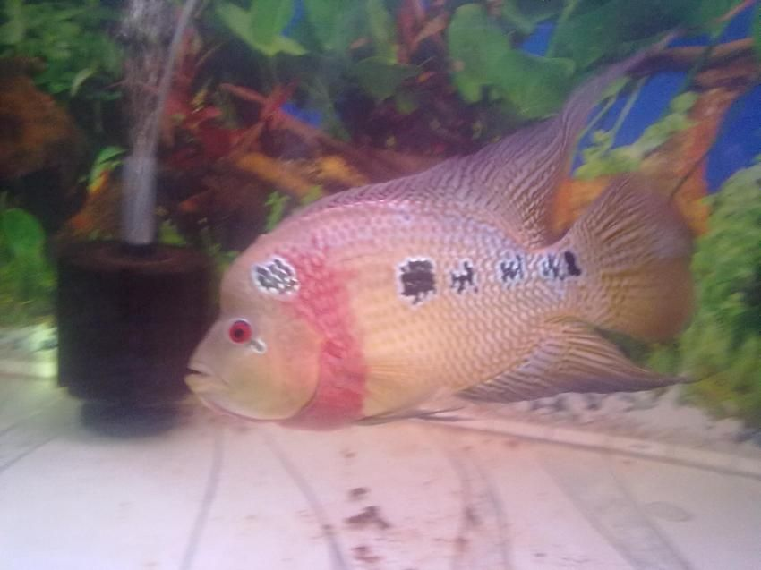 Humpy head flower horn fish 123 for Flower horn fish price