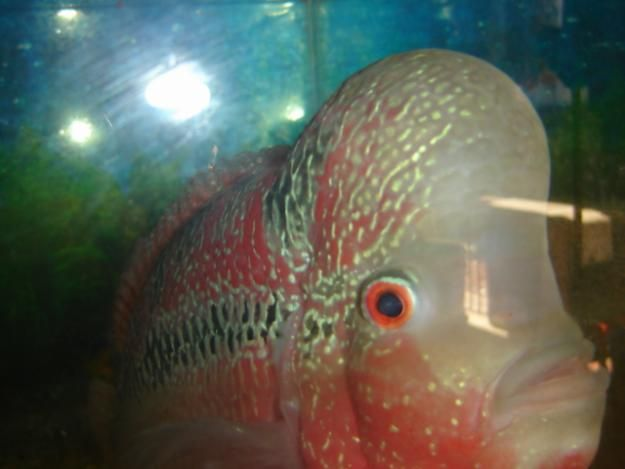 Flowerhorn fish flower horn fish sale in bangalore for Flower horn fish price