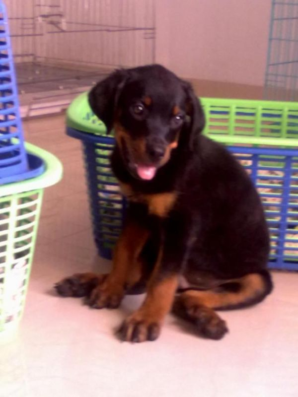 SANAU KENNEL - PRESENTS ROTTWEILER PUP 4 SALE IN MUMBAI...