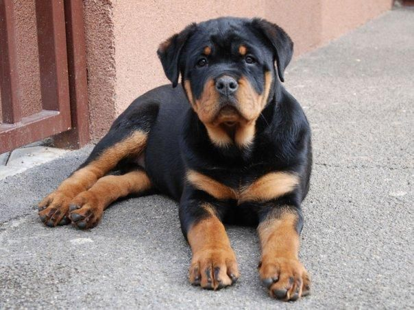 Rottweiler For Sale Rottweiler Puppies For Sale Buy Rottweiler